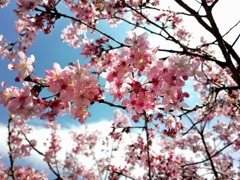 5-cherry-flower-bold-huang-on-flickr